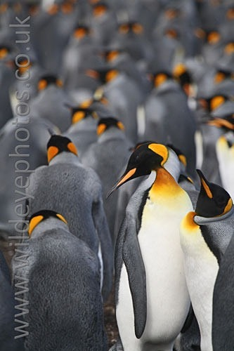 The Colony - Penguins