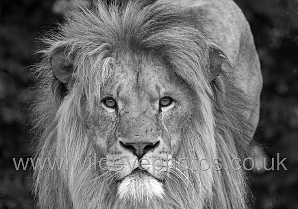 Stalking Lion - Black & White