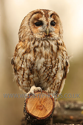 Tawny On A Log - Owls
