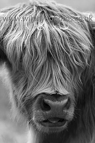 Highland Stare - Black & White