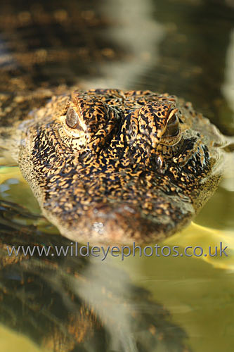 American Alligator - Reptiles, Amphibians & Insects