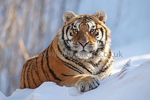 Snow Tiger - Tigers