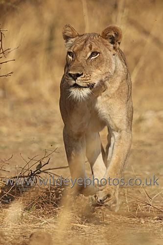 Lioness Stalking - Lions