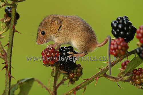 Blackberry Mouse - British Wildlife