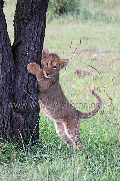 Me & My Tree - Lions