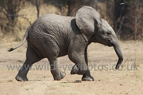 Baby Elephant Running - Elephants