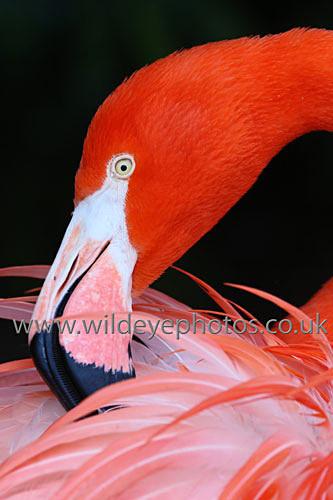 Preening Flamingo - Birds