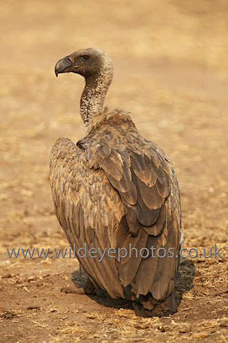 White Backed Vulture - Birds Of prey