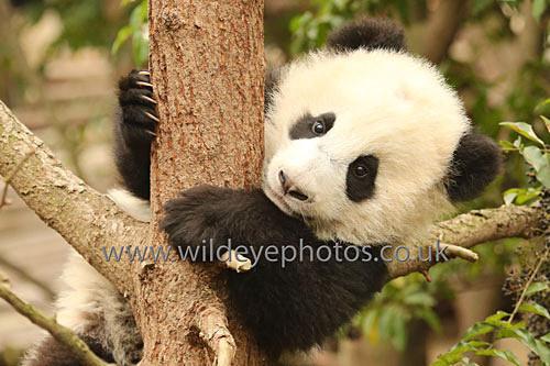 Baby Panda Peering - Pandas
