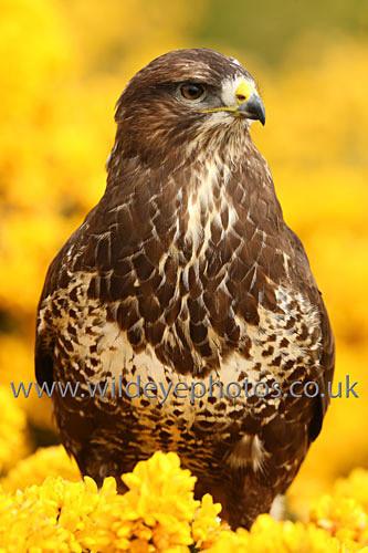 In The Gorse - Birds Of prey