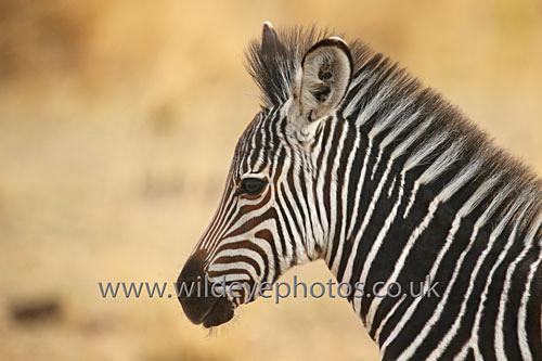 Baby Zebra Profile - African Wildlife