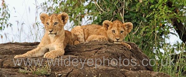 Cubs Resting - Panoramic & Slim Prints