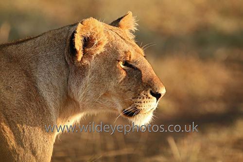 Stalking Lioness - Lions