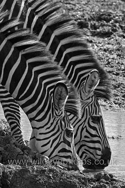 Zebras Drinking - Black & White