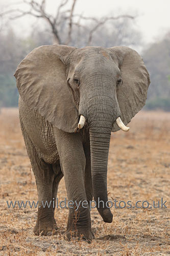 Lone Male Elephant - Elephants