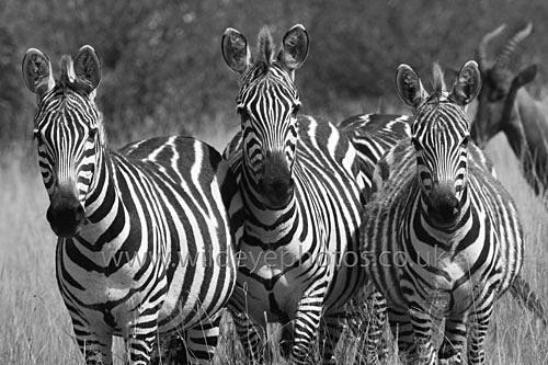 Zebra Trio - Black & White