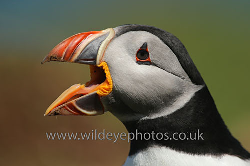 Puffin Shout - Puffins