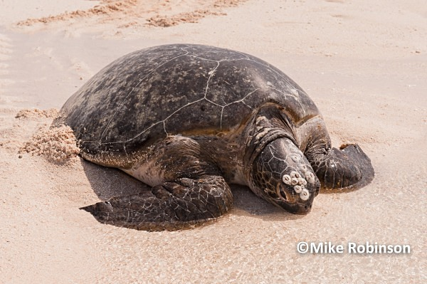 turtle ashore_109_Huon Island - Huon Atoll, New Caledonia