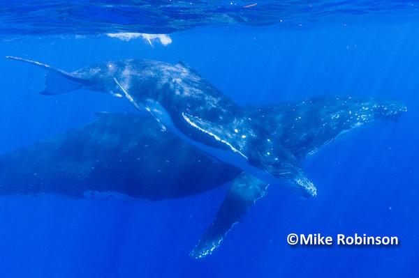 Whales swimming_24_underwater - Pacific Memories