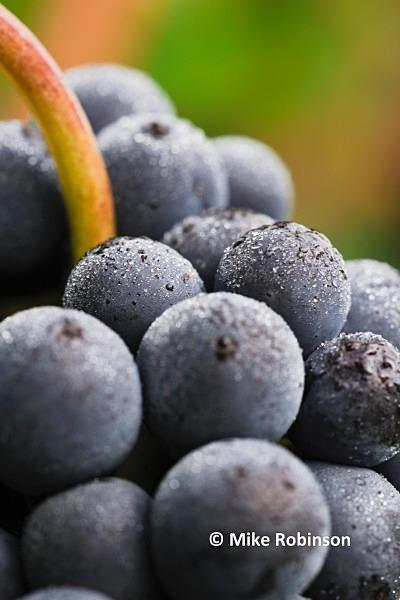 Martinbor vines_13_netted grapes 4x6crop - North Island, New Zealand