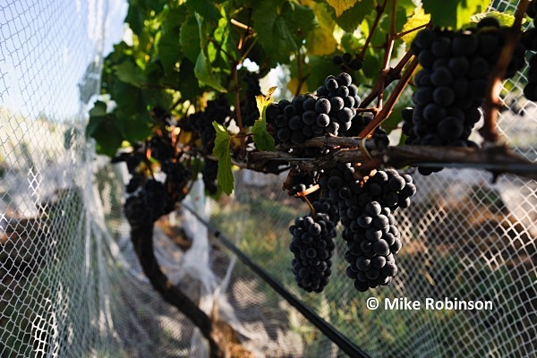Martinbor vines_73_netted grapes larger image - North Island, New Zealand