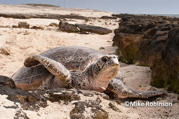 turtle ashore_72_Huon Island - Huon Atoll, New Caledonia