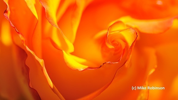 Rose _71_Botanic Garden - South Island, New Zealand