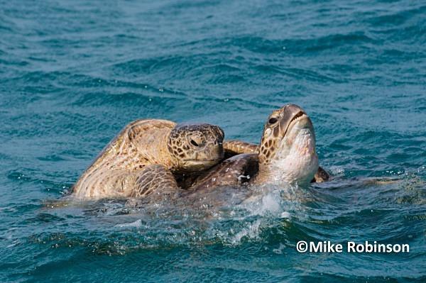 turtles mating_22_Huon Atoll - Huon Atoll, New Caledonia
