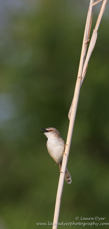Warbler on a reed
