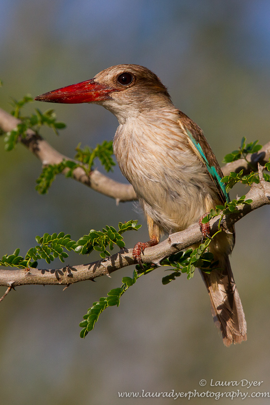 Brown Hooded Kingfisher portrait