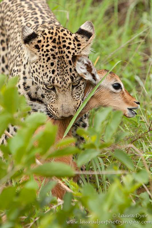 Leopard and impala lamb - Leopards