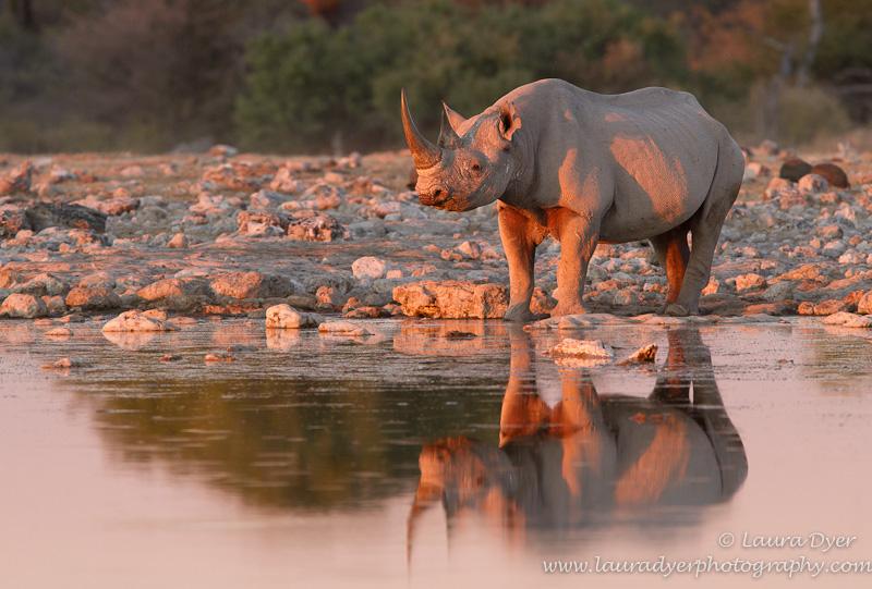 Black Rhino at sunset in Etosha