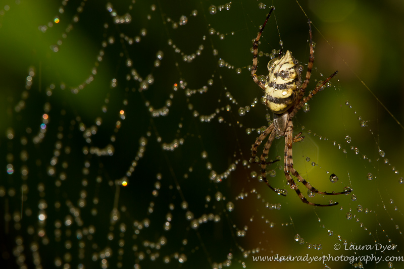 Garden Orb spider in watery web