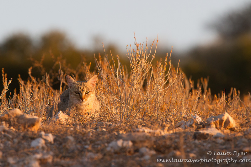 African wildcat on ridge - Other predators
