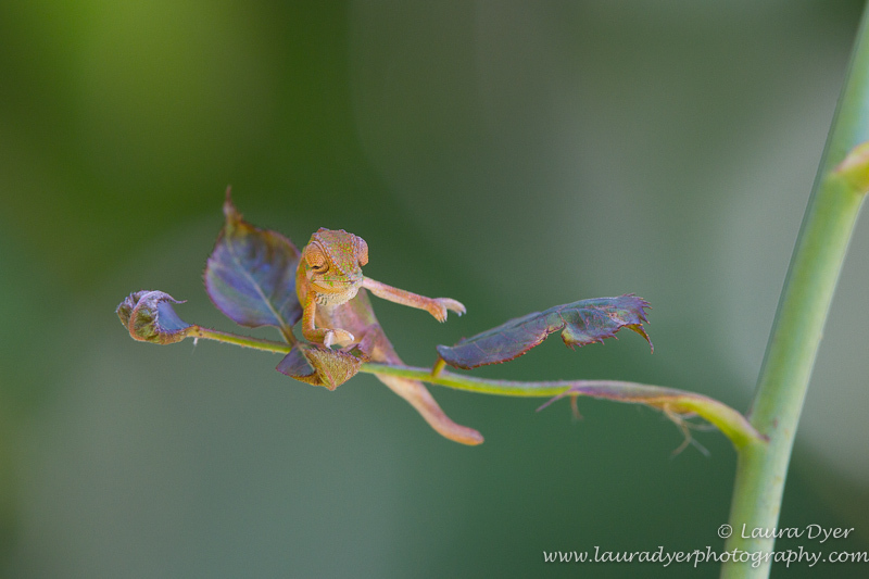 Baby chameleon dance - Other Nature