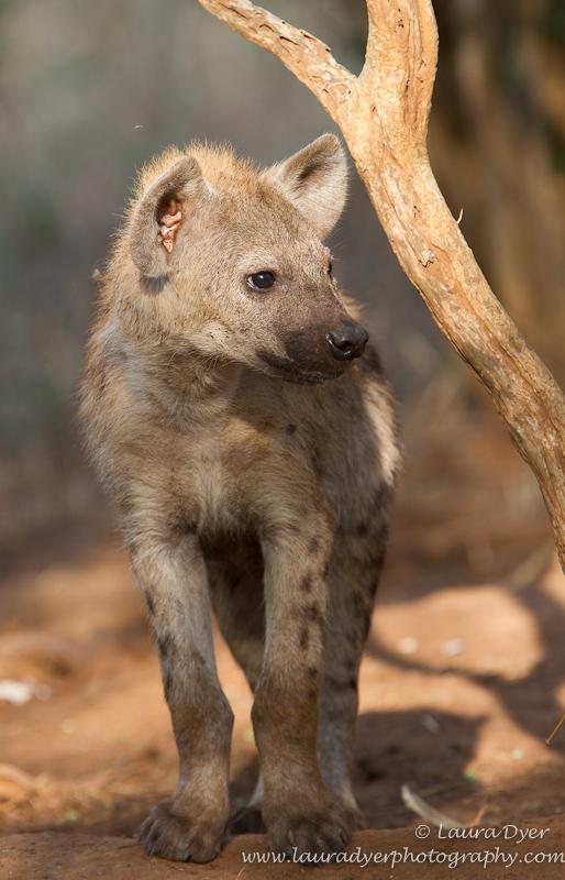 Hyena cub at den