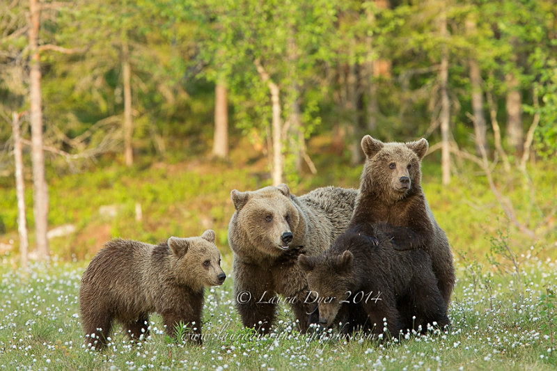 Brown Bear Family - Finland