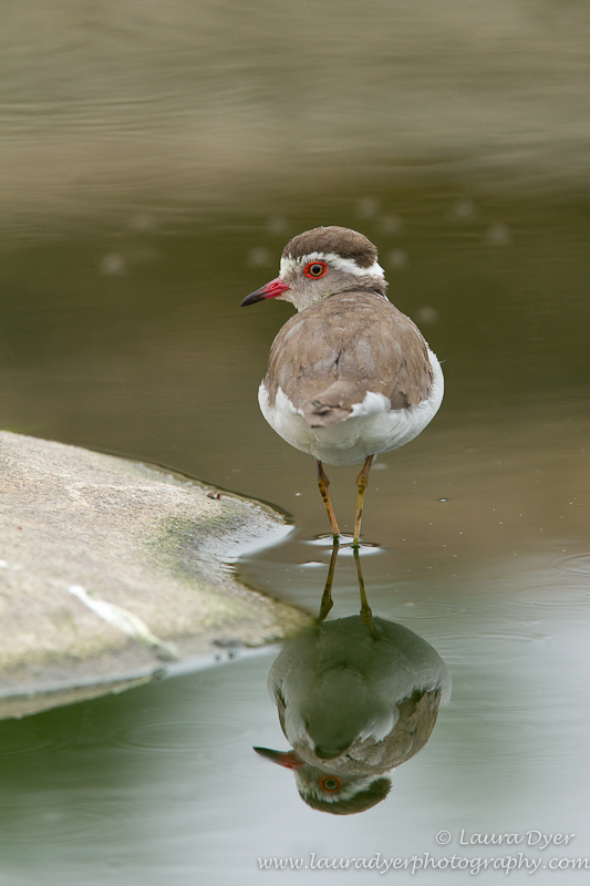 Three Banded Plover reflection