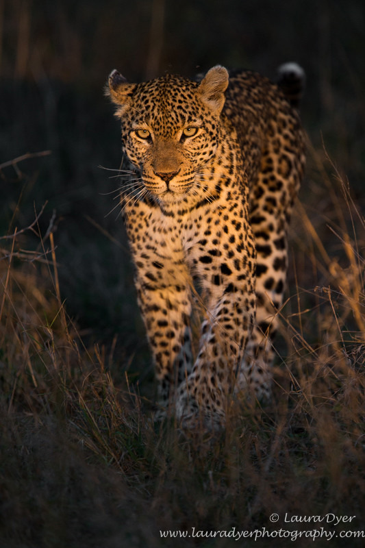 On the hunt - Leopards