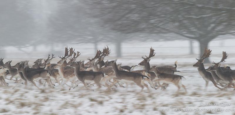Fallow deer in motion - British Wildlife