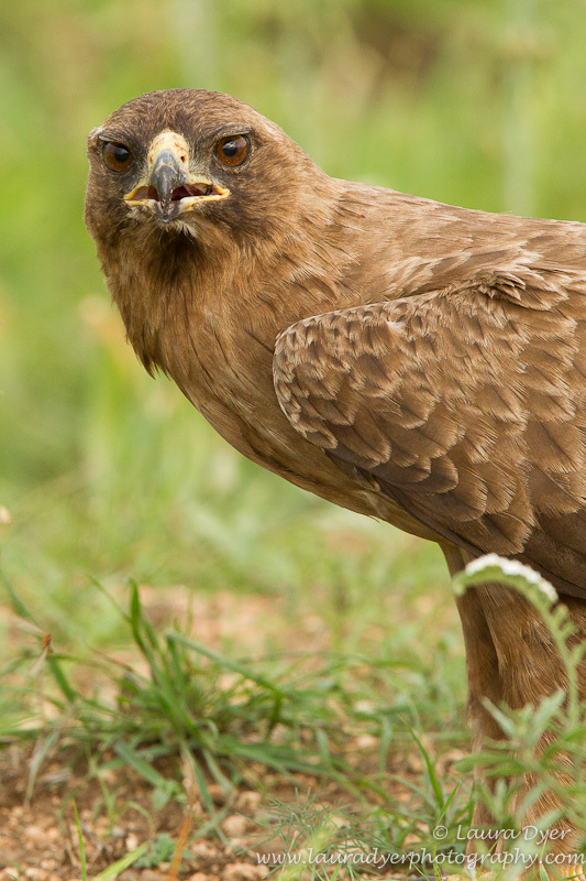 Wahlberg eagle stare - Birds of Africa
