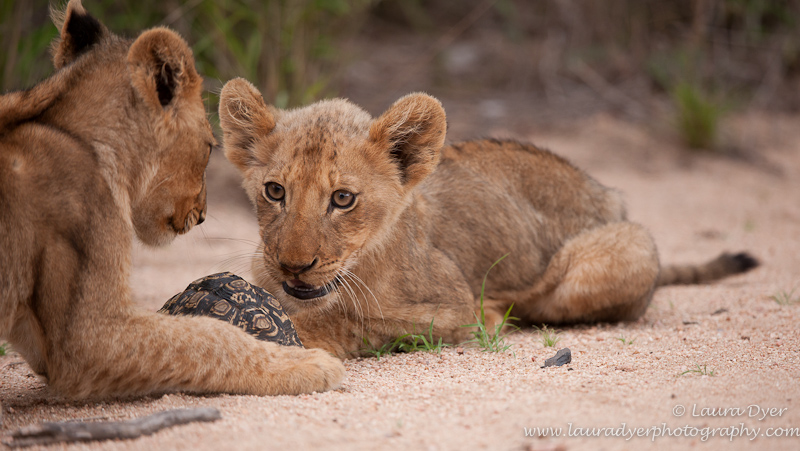 Lion cubs with tortoise