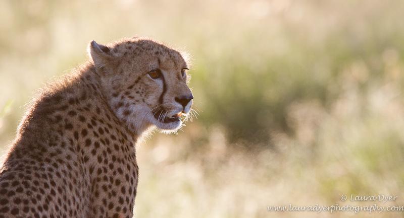 Backlit cheetah cub - Cheetah