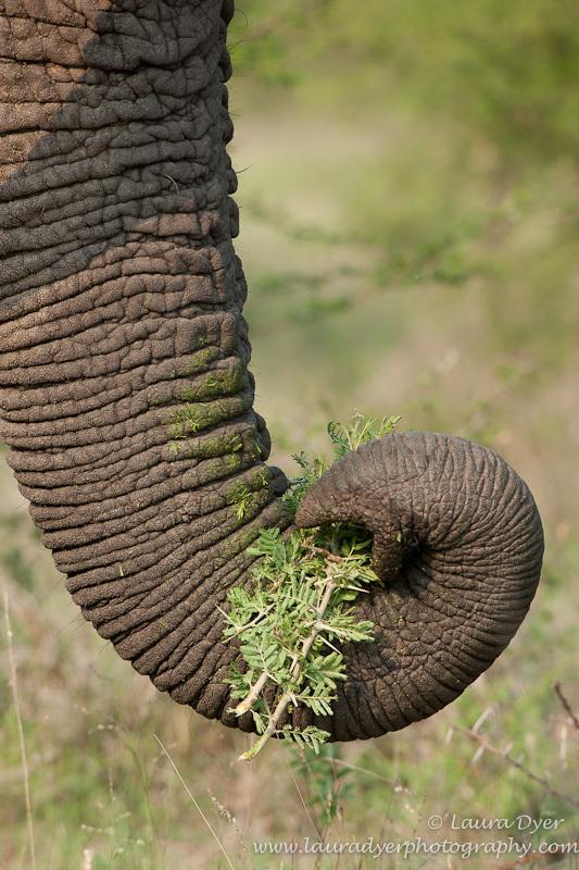 Eating elephant trunk