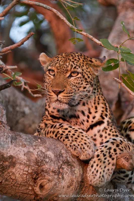 Sausage tree at first light - Leopards
