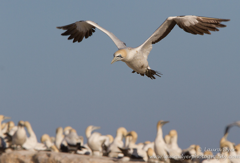Cape Gannet at Lamberts Bay