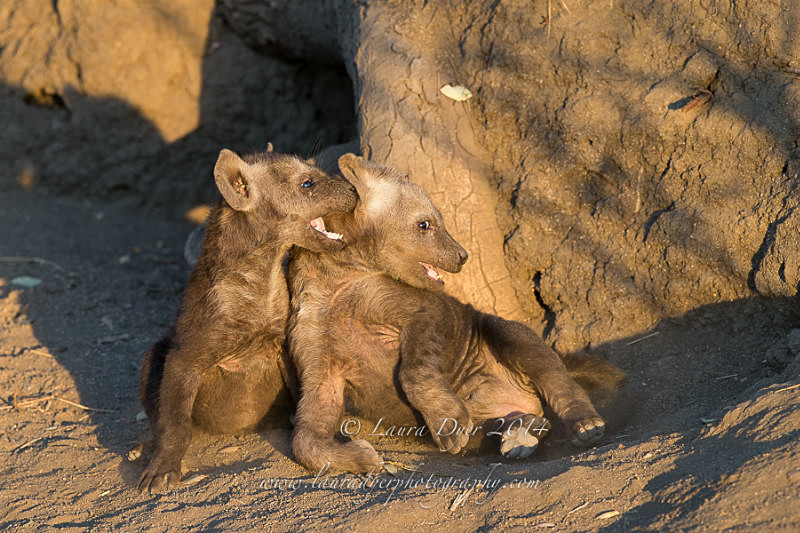 Playful cubs - Hyena