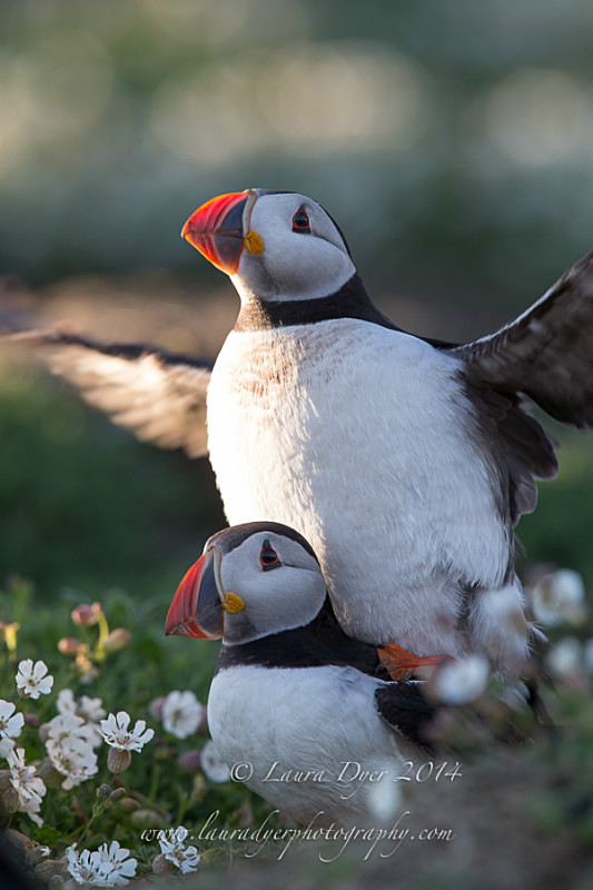 Mating puffins - Seabirds