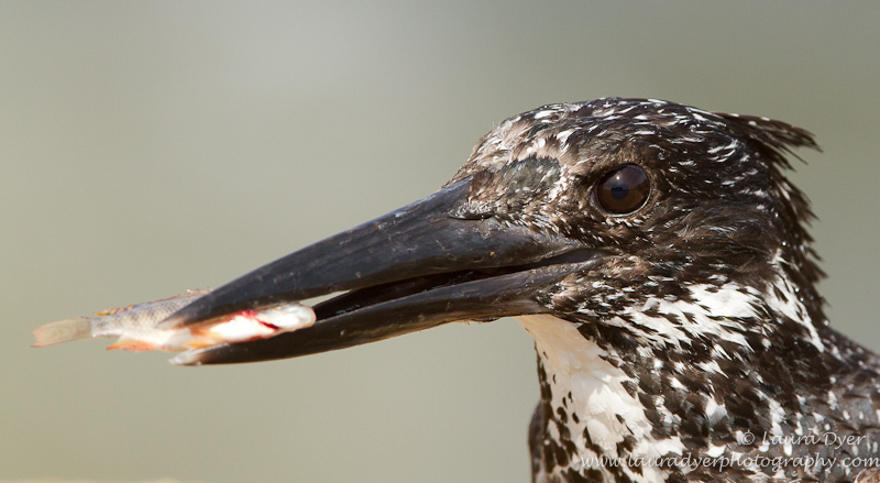 Giant Kingfisher with kill - Birds of Africa
