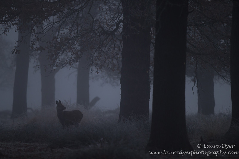 Doe in the mist - British Wildlife